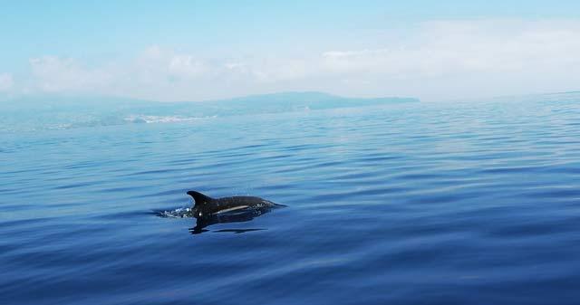 Auf den Azoren lassen sich Wale und Delfine hautnah beobachten