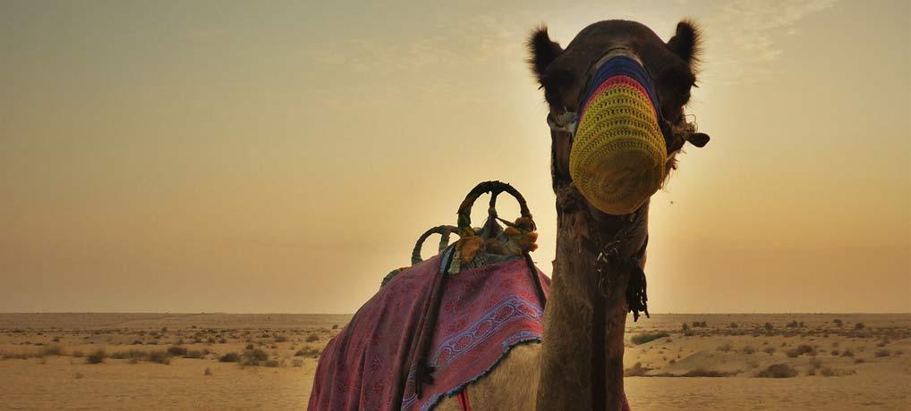 Vereinigte Arabische Emirate, VAE, Dubai, Kamel, Abenteuer, Singlereisen, Singleurlaub
