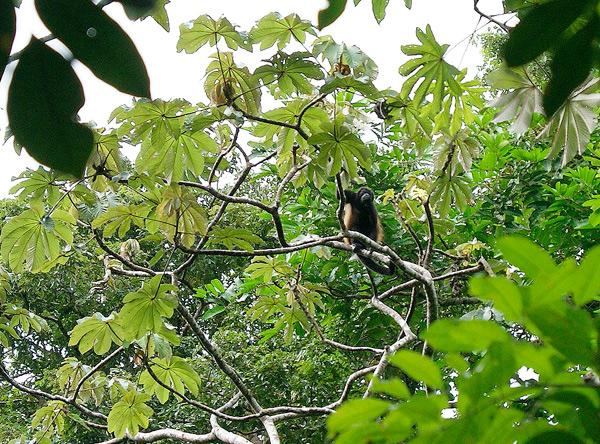 Brüllaffe, Costa Rica, Urwald, Dschungel, Reise, urlaub