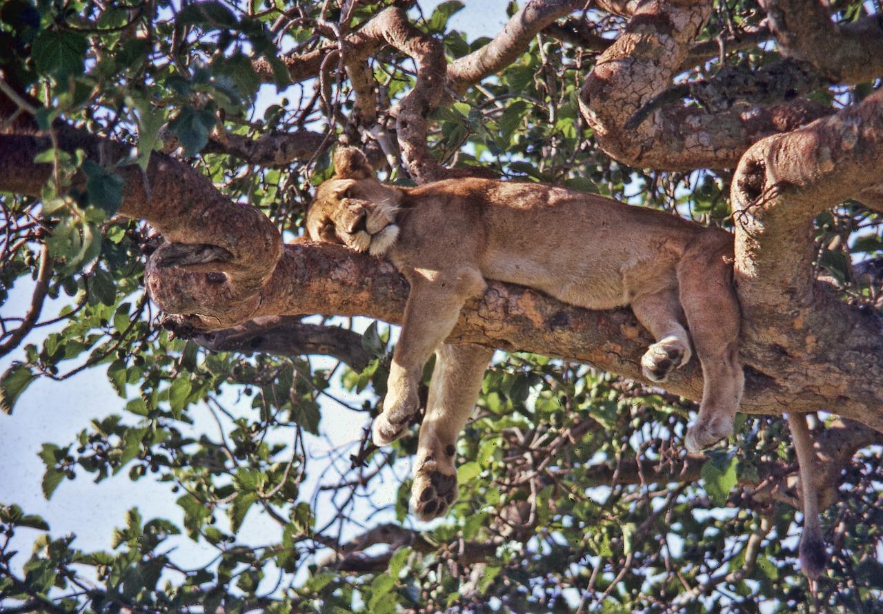 Baumlöwen in Uganda, Urlaub, Reisen, Flüge