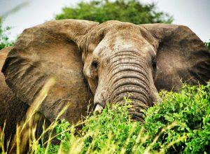 Flüge nach Uganda, Afrika, Safari